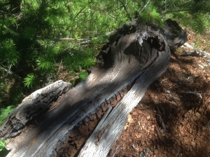 Brown rotted wood spilling out of a silvered trunk.