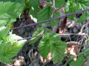 nativeblackberry