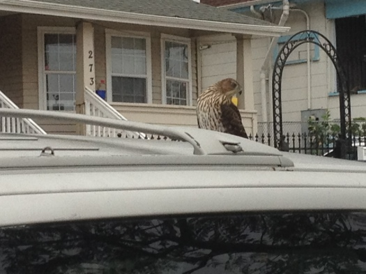 Red-tailed hawk sitting on the roof of a car