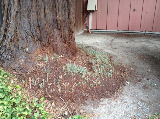 Redwood with Shoots