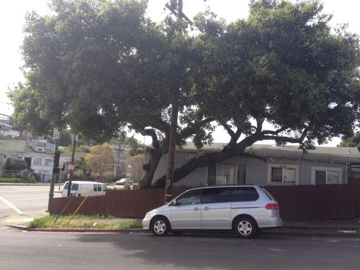 Oak tree in a yard in Oakland