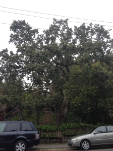 Oak in Lafayette